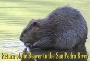 A beaver on the San Pedro River